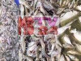 খুলনার তেরখাদায় মাছের ঘেরে বিষ প্রয়োগ করে মাছ চুরি